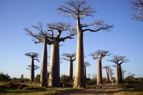 baobabs-palissandrecoteouest