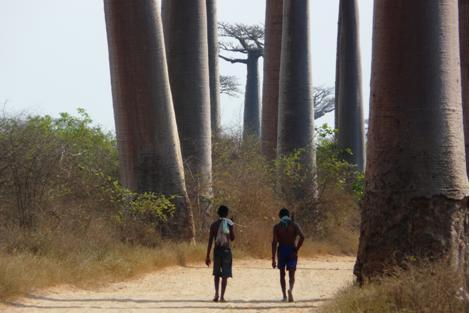 marcheur-allées-des-baobabs-palissandrecoteouest