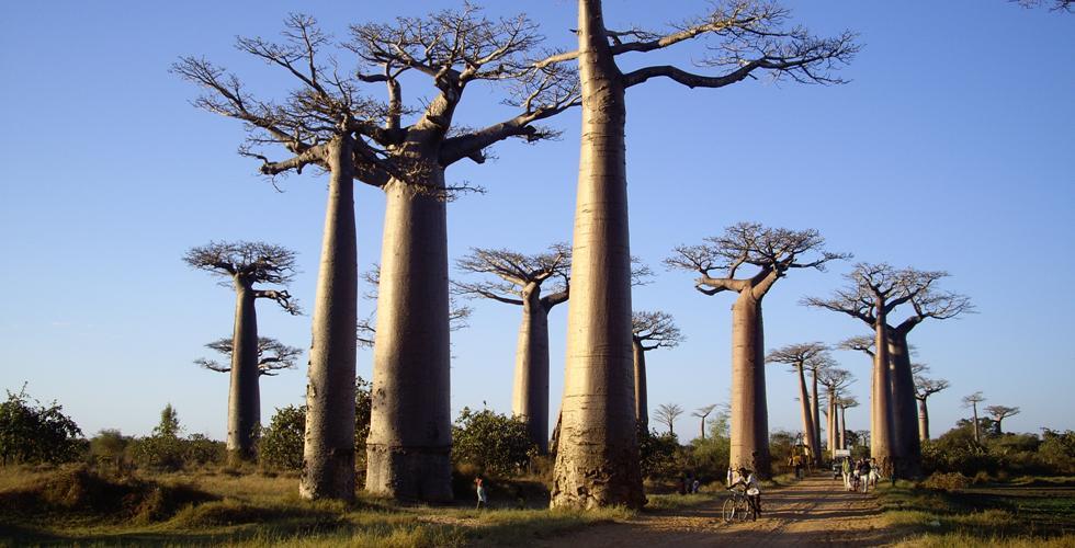 Allée des Baobabs-1
